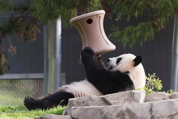 Em foto de abril de 2015, panda-gigante Mei Xiang brinca em seu recinto no zoológico de Washington  (Foto: Reuters/Connor Mallon/Smithsonian's National Zoo)