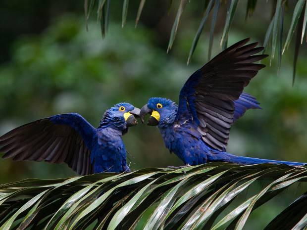 Projeto visa a conservação da arara-azul. Pará (Fot Divulgação/ João Marcos Rosa)