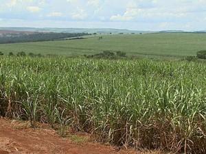 Usina pagava salários de produtores rurais com cheques sem fundo  (Foto: Alexandre Sá/EPTV)