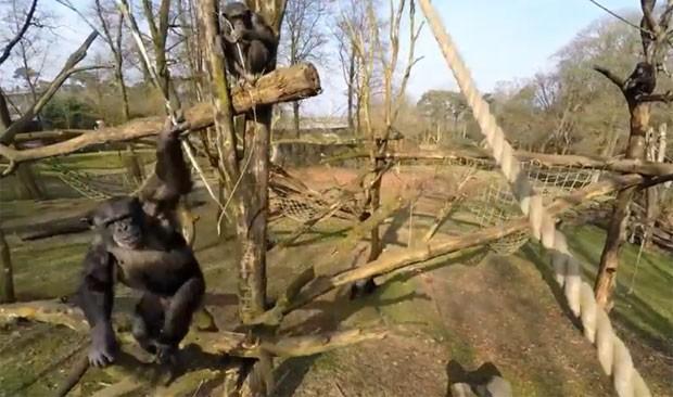 Chimpanzé usou pedaço de pau para tentar atacar drone (Foto: Reprodução/YouTube/Burgers' Zoo)