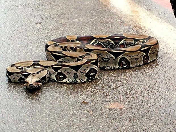 De acordo com bióloga, espécie popurlamente conhecida como jibóia não é venenosa e pode atingir até 4 metros. (Foto: Assis Lima/Arquivo Pessoal)