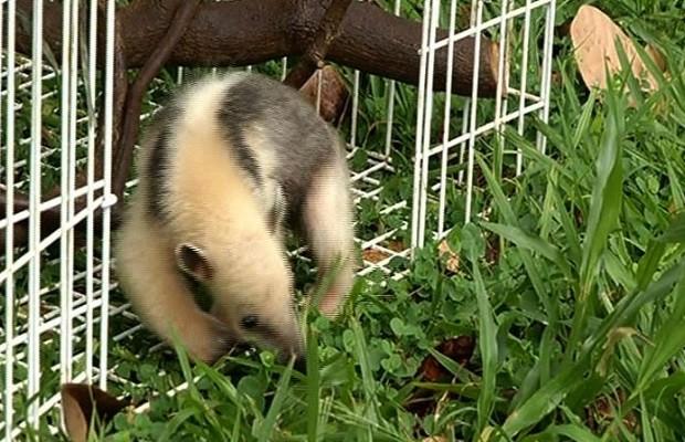 tamanduá encontrado em Rio Verde, Goiás (Fot Reprodução/TV Anhanguera)