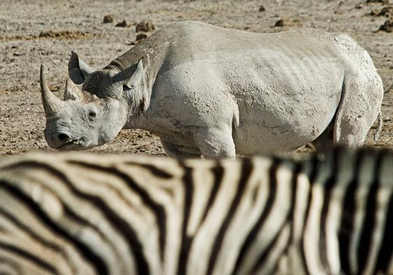 Um rinoceronte-negro cruza uma zebra (Foto: © Haroldo Castro/Época)