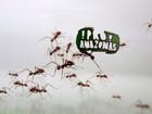 Formigas de zoo alemão carregam folhas com mensagem pró-Amazônia