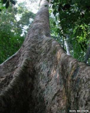 Amazônia abriga 17% do carbono estocado pela vegetação do planeta. As árvores maiores guardam carbono 'por décadas ou séculos', diz cientista (Foto: Roel Brienen/BBC)