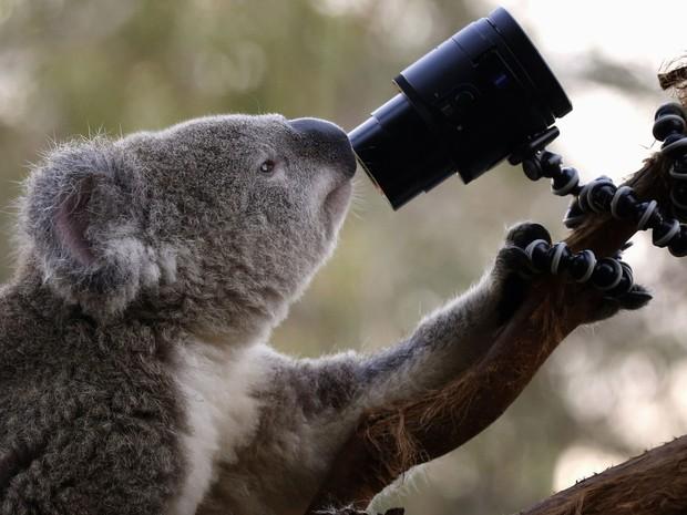 Um coala australiano olha para uma câmera colocada em seu recinto no zoo de Sydney  (Foto: David Gray/Reuters)
