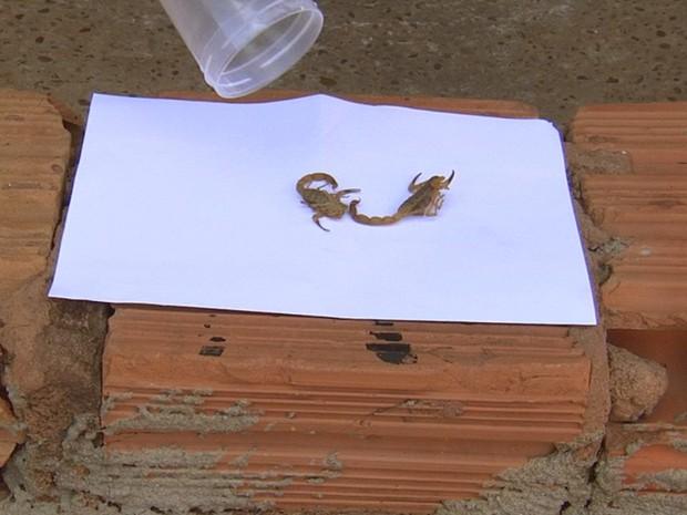 Escorpiões encontrados na casa da Aline, em Pereira Barreto (Foto: Reprodução / TV TEM)