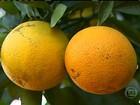 Colheita da laranja começa em SP com agricultores preocupados