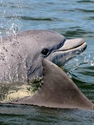 Pelo menos 90 animais vivem no litoral gaúcho (Foto: Projeto Botos da Lagoa dos Patos/ Divulgação)