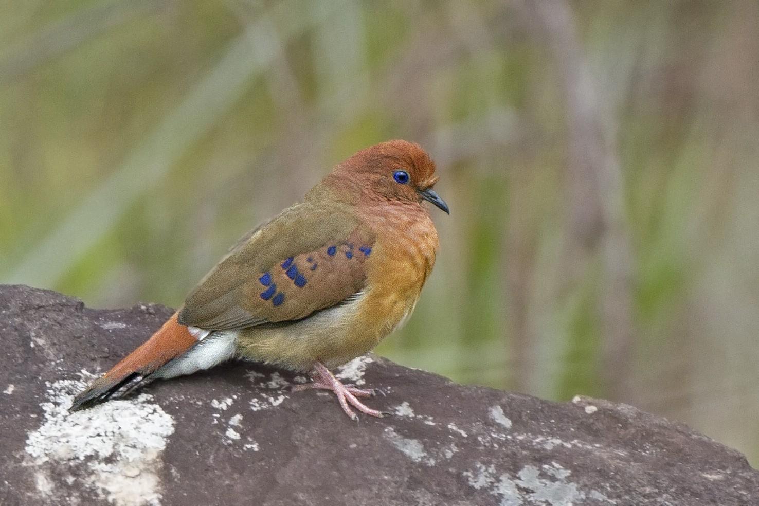 Somente 12 indivíduos da espécie Rolinha-do-planalto foram encontrados pelos pesquisadores (Foto: Divulgação/Instituto Butantan)