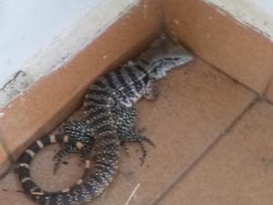 Lagarto foi encontrado dentro da casa de morador (Foto: Thiago Martins da Silva/ VC no G1)