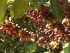 Pesquisas sobre o cultivo de café e oliveira são apresentadas em Araxá
