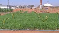 Consórcios de plantas aumentam renda