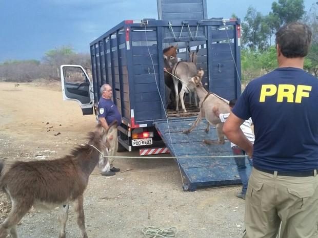 Animais foram recolhidos nas rodovias do Sertão de Pernambuco (Foto: Divulgação/Polícia Rodoviária Federal)