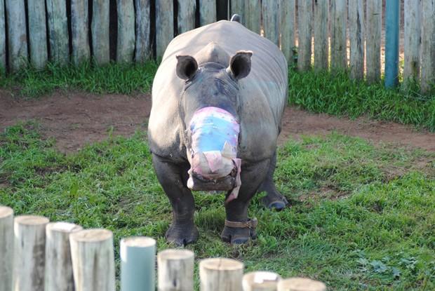 Rinoceronte Hope está recebendo tratamento: intenção de grupo é que animal volte à natureza e se reproduza (Foto: Suzanne Boswell Rudham/Saving the Survivors via AP)