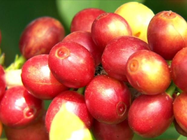 Propriedades usam novas técnicas para garantir produção de café em MG (Foto: Reprodução / TV Globo)