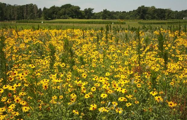 Agricultores criam girassóis para produzir biocombustível (Foto: Divulgação/Universidade do Estado de Michigan)