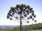 Parque de 13 mil hectares preserva araucárias no Oeste de Santa Catarina