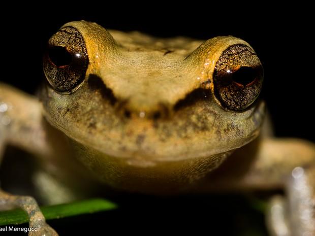 perereca-marsupial (Foto: Rafael Menegucci / VC no TG)