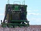 Produtores de algodão de MT estão insatisfeitos com o preço da pluma