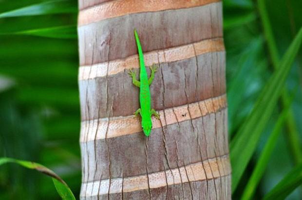 Lagarto em árvore das llhas Seychelles. Planeta precisa planejar como cuidar da biodiversidade antes da extinção de espécies (Foto: Alberto Pizzoli/AFP)