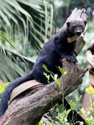 Irara, animal encontrado do México à Argentina (Foto: Fabio Rodrigues/G1)