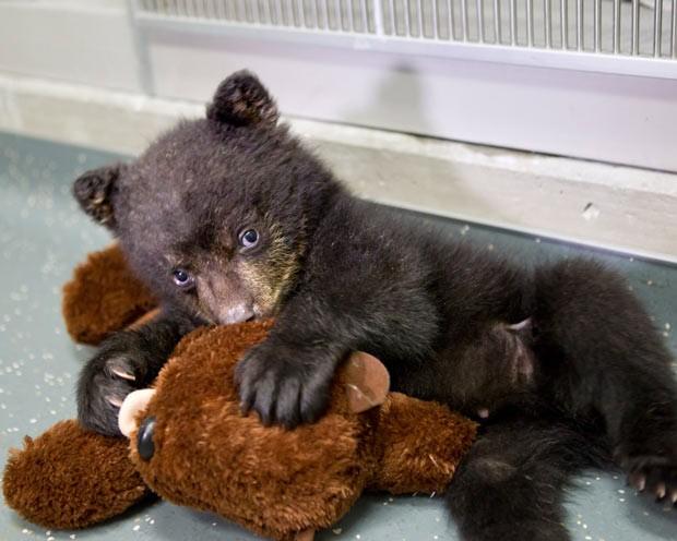 filhote de urso ganhou um bicho de pelúcia como companheiro no Zoológico do Oregon. (Foto: Carli Davidson/AP)