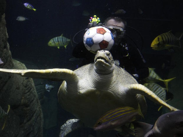 Gonzales, exemplar de tartaruga-verde, mostra habilidade com a bola de futebol em aquário de Munique, na Alemanha. (Foto: Michaela Rehle/Reuters)