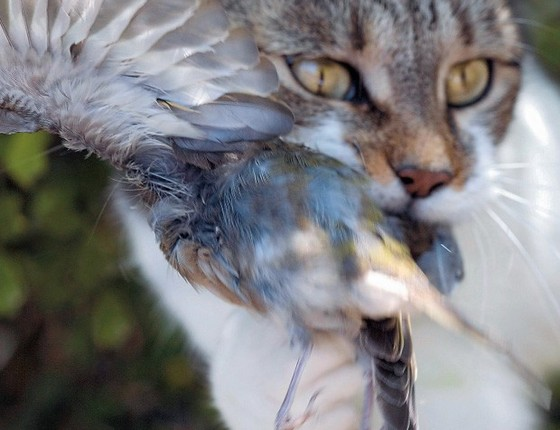 Flagrante de um gato no ato de atacar uma ave. Estima-se que um felino desses mate 80 animais por ano (Foto: Claudius Thiriet/Gamma-Rapho/Getty Images)