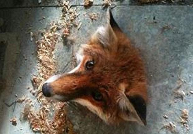 No ano passado, uma raposa foi resgatada por agentes da Sociedade Real para a Prevenção da Crueldade aos Animais (RSPCA) após ser encontrada com a cabeça entalada em um buraco no chão na Universidade de Hertfordshire, em Hatfield, na Inglaterra (Foto:  Divulgação/RSPCA)