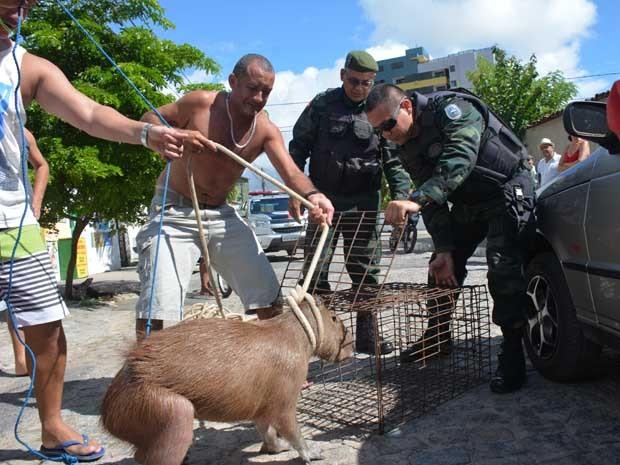 Moradores ajudaram a Polícia Ambiental a capturar a capivara (Foto: Walter Paparazzo/G1)
