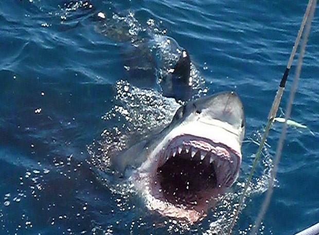 Grande tubarão-grande foi fotografado em posição de ataque na Austrália (Foto: Reprodução/Instagram/Calypsostarcharters)