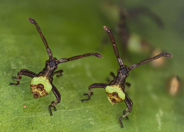 """Imagem mostra """"insetos irmãos"""" que mediam apenas 3 mm e tinham somente 2 horas de vida no momento do registro fotográfico  (Foto: Divulgação/Kurt Wirz/2013 Olympus BioScapes Digital Imaging Competition)"""