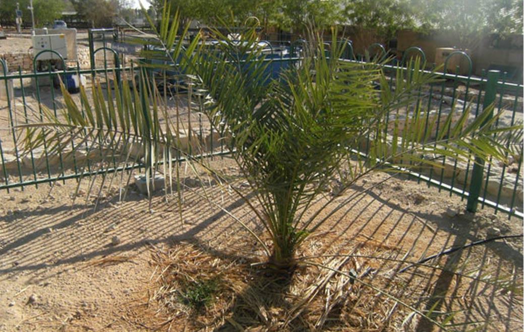 Árvore bíblica que brotou de semente de 2000 anos gera descendentes em Israel