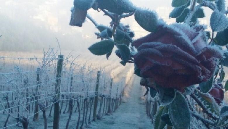rosa-flores de cunha -rs-inverno (Foto: Fernando Giacomel)