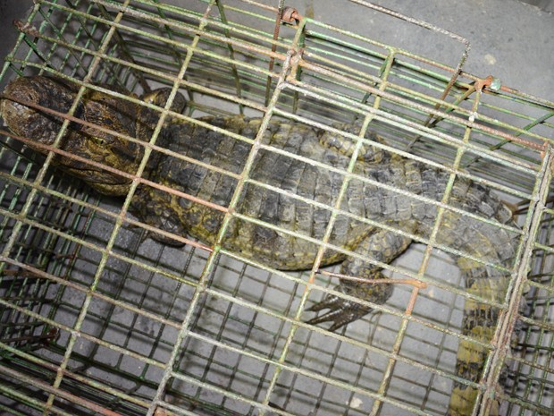 Equipe da Polícia Militar Ambiental disse que moradores ligaram informando que o jacaré de quase 2 metros estava andando por uma das ruas do bairro. O animal foi encaminhado para o Centro de Triagem de Animais Silvestres (Cetas), em Cabedelo (Foto: Walter Paparazzo/G1)