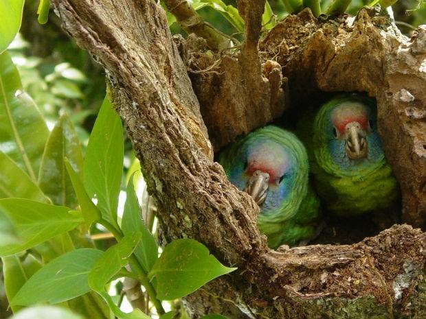 Câmeras foram instaladas em ninhos de papagaios-de-cara-roxa para acompanhar nascimento e desenvolvimento dos filhotes (Foto: Rafael de Rivera / Divylgação / SPVS)
