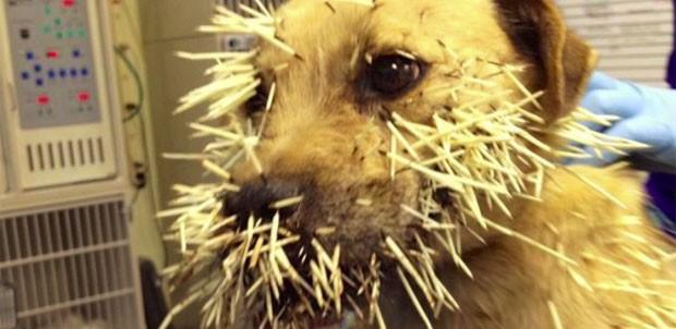 'Shiloh' terminou com dezenas de espinhos cravados no corpo após luta com porco-espinho. (Foto: Reprodução/Animal Emergency Center)