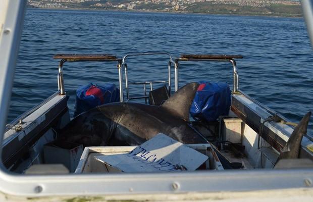 Em julho de 2011, um tubarão branco de 500 kg e três metros de comprimento conseguiu pular dentro de um barco de pesquisa na África do Sul. O fato ocorreu enquanto pesquisadores da vida marinha trabalhavam na cidade costeira de Mossel Bay. (Foto: Oceans Research)