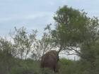 Turista flagra elefante derrubando árvore em parque sul-africano