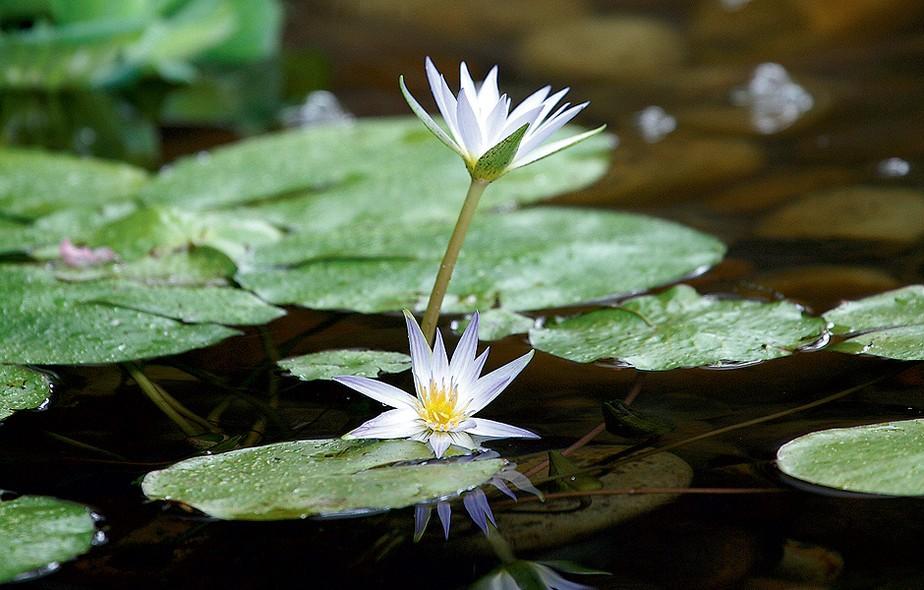 As folhas da ninfeia-azul somem durante o inverno, mas reaparecem na primavera. Suas flores azuis surgem no mesmo período e permanecem até o verão