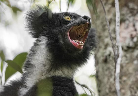 Ser surpreendido pelo canto do indri dentro de uma floresta é uma experiência única (Foto: © Haroldo Castro/ÉPOCA)