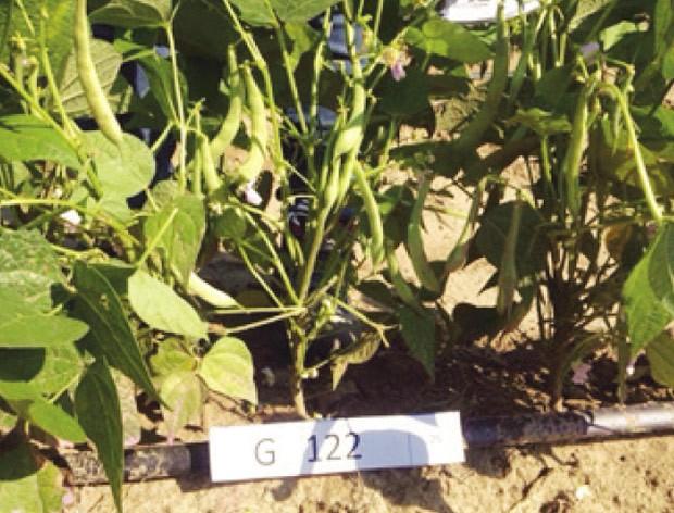Variedade de feijão tolerante ao calor foi plantada no norte da Colômbia  (Foto: CGIAR/Divulgação)