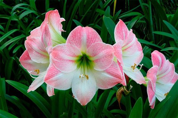 Com grande variedade de cores, esta espécie é a rainha da primavera