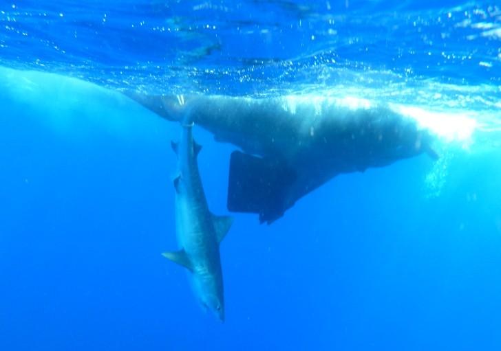 Captura tubarão tigre Noronha 3