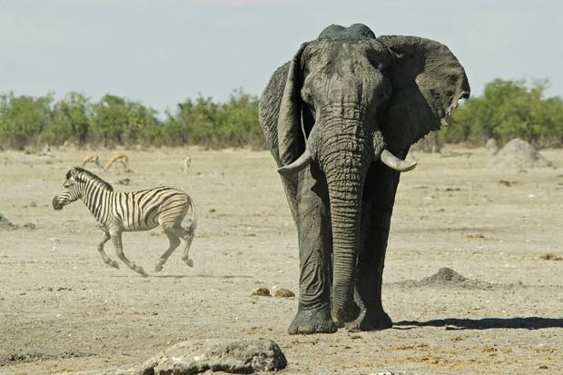Um elefante macho aproxima-se de um ponto de água no parque Etosha. Ao fundo, uma zebra-da-planície corre (Foto: © Haroldo Castro/ÉPOCA)