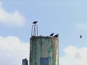 Urubus são considerados problemas para aviação, diz Aeronáutica (Foto: Reprodução/TV Amapá)