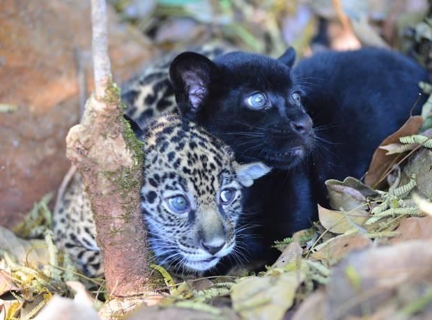 É a segunda vez que a espécie consegue se reproduzir no parque zoobotânico. (Foto: Salviano Machado/Vale)