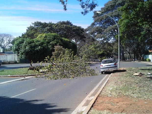 Árvore caída entre as quadras 708 e 709 Sul atrapalham acesso de motoristas à W3 Sul, em Brasília, na manhã desta segunda-feira (24) (Foto: Rafaela Céo/G1)