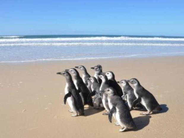 Pinguins foram devolvidos ao mar nesta quarta-feira (24) (Foto: Fatma/Divulgação)